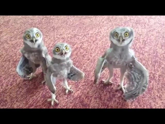 Happy Three Owl