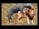 Sức mạnh bầy đàn Giữa Sư tử vs Trâu rừng dũng mãnh cái kết sư tử leo cây - Lion vs Buffalo