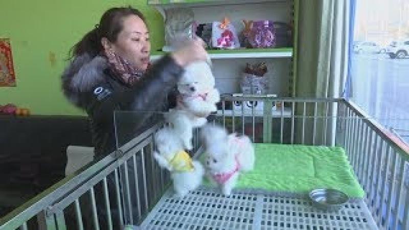 В год Собаки интерес к чистокровным питомцам в Китае будет расти