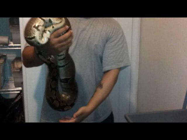 Huge 4400 gram female ball Python