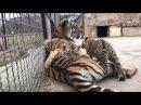 Тигрица Одри с малышами тигрятами