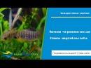 Аквариумная рыбка Лимия чернополосая limia nigrofasciata ⚡
