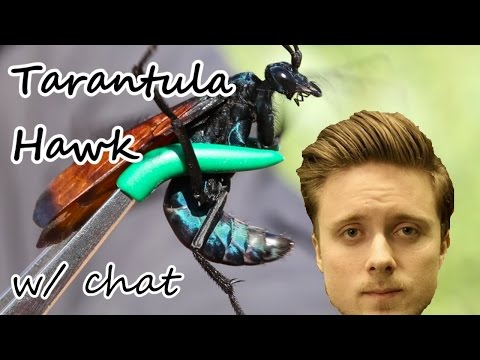 Forsen reacts to the Tarantula Hawk (right version, with chat)