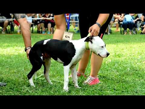 V. Pit Bull Show Slovakia IV. Cup Of Carpathians 2017 video