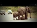 Слоны своих не бросают - Herd of Elephants Help an Elephant Calf (видео онлайн HD).mp4