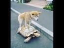 А теперь, покатай меня большая черепаха.