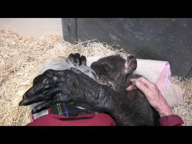 Jan van Hooff visits chimpanzee Mama 59 yrs old and very sick Emotional meeting