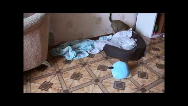 Разрушительная сила щенка амстаффа / Спайси 3 месяца