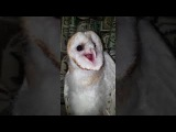 Baby barn owl screaming