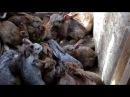 Ямное содержание кроликов решение перенаселения ямы