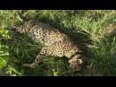 Cheetah brothers attacked by Lion - Natural World: Cheetahs Fast Track To Freedom - BBC Earth