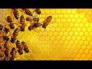 Исследователи старинных обрядов удивили открытием МЁД Мистические свойства меда Тайны Чапман