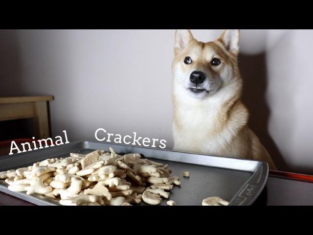 Dog Eats Animal Crackers. [ASMR]
