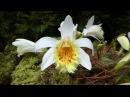 Pleione grandiflora yellow Lip 1