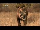 Доисторические хищники Саблезубый тигр Смилодон