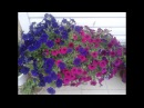 Обзор семян петунии Различие ампельных и каскадных петуний