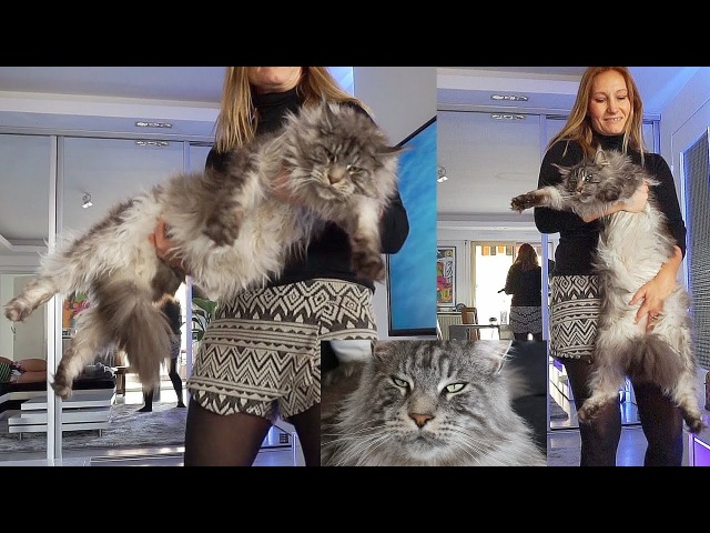 BIG MAINE COON CAT Black Silver Little LION ....LIFE with Biggest Domestic Giant Gentle CAT on EARTH
