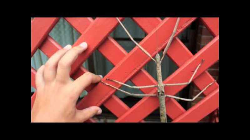 The Worlds Longest Insect - Titan Stick Insect