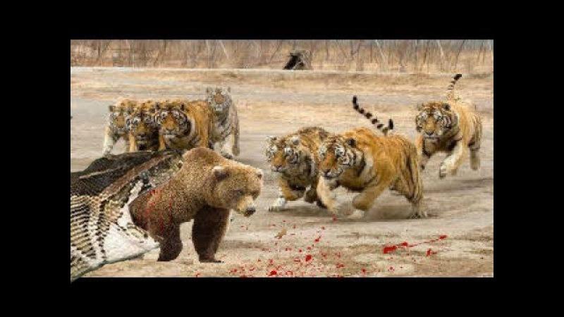 Vua hổ tấn công gấu xám trăn khổng lồ nuốt con mồi to hơn nó gấp nhiều lần - tiger vs bear vs python