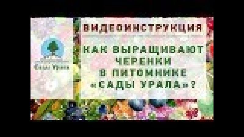 Как выращивают ЧЕРЕНКИ в питомнике «Сады Урала». Видеоинструкция.