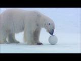 Polar bears play football with spy cam - Polar Bear Spy On The Ice - BBC Earth