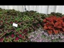 New Coleus for 2017 from Ball FloraPlant