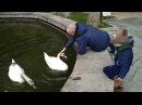 Лебединое озеро. Лебеди кушают травку. 3 шикарных лебедя. Никита с папой около лебединого озера.