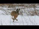 Охота на зайца зимой, тропим