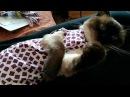 Как тайский кот Калиостро мурлыкал во время первой примерки и уснул Тайские кош