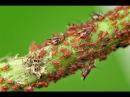 Обработка от вредителей осенью Защита от кровяной тли 7 дач