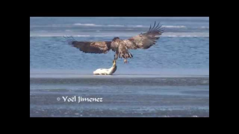 White-tailed Sea-eagle catching big carp/Zeearend vangt karper Oostvaardersplassen short version 4K