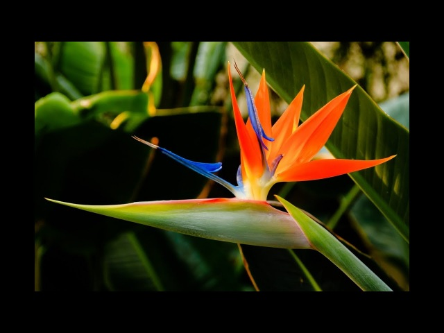 Стрелиция королевская. Райская птица из семян