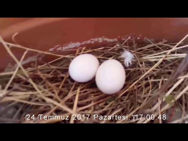 İki Güvercin Yumurtası...