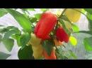 Выращивание очень урожайного и толстостенного сорта болгарского перца - Звезда