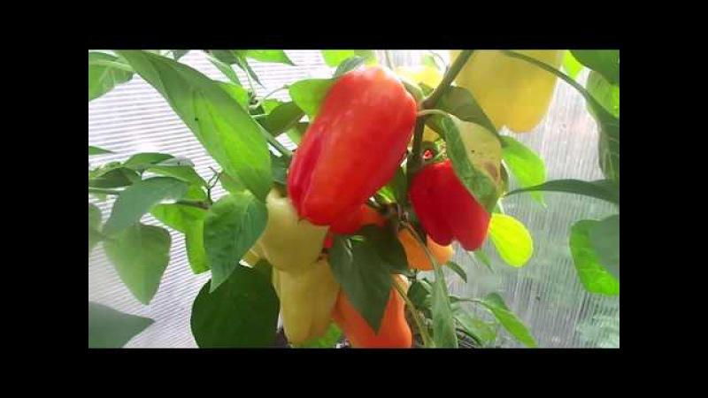 Выращивание очень урожайного и толстостенного сорта болгарского перца - Звезда ...