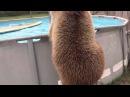 Милый медведь купается в бассейне {забавные животные}
