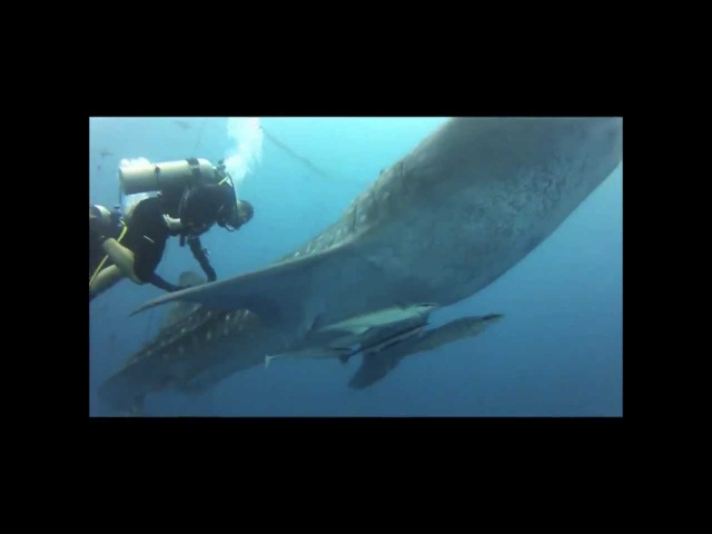 Окинава. Дайвинг с китовой акулой. Whale Shark Diving. Okinawa