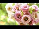 Ирландская роза Эустома Выращивание из семян