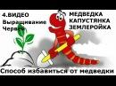 4. часть. В червятнике нет червей Значит завелась медведка. Простой метод борьбы с капустянкой!