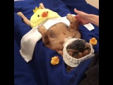 Crazy French Bulldog Massage
