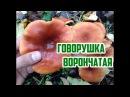 Осенние грибы Тихая охота Говорушка ворончатая Говорушка перевёрнутая Paralepista flaccida