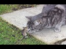 НОВЫЕ ПРИКОЛЫ 2017 Смешные кошки приколы про кошек и котов 2017 - МатроскинТВ
