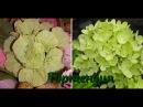 МК по изготовлению цветка Гортензия, вставка для букета из конфет