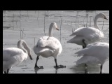 Over 8000 Wild Whooper Swans Cross the Frozen Yellow River for Food