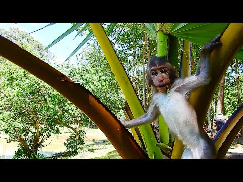 OMG! Baby Monkey On The Tree, Poor Baby Monkey Up On Palmyra Palm Tree