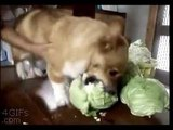 Собака которые любит капусту