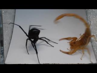 Скорпион против черной вдовы