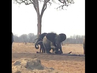 While a herd of elephants tried and gave up four times to rescue a stuck baby,