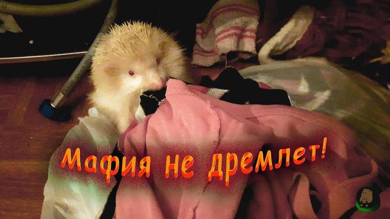 Ежики Вега и Гогуша играют в мафию! Самое смешное в конце Еж, ежи, ежик, альбинос, альбиносы » Freewka.com - Смотреть онлайн в хорощем качестве