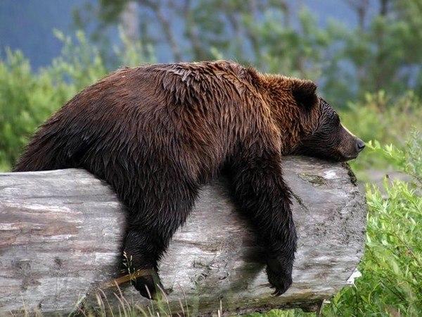 Более 30 решений на отстрел медведей было принято в Томской области с начала года